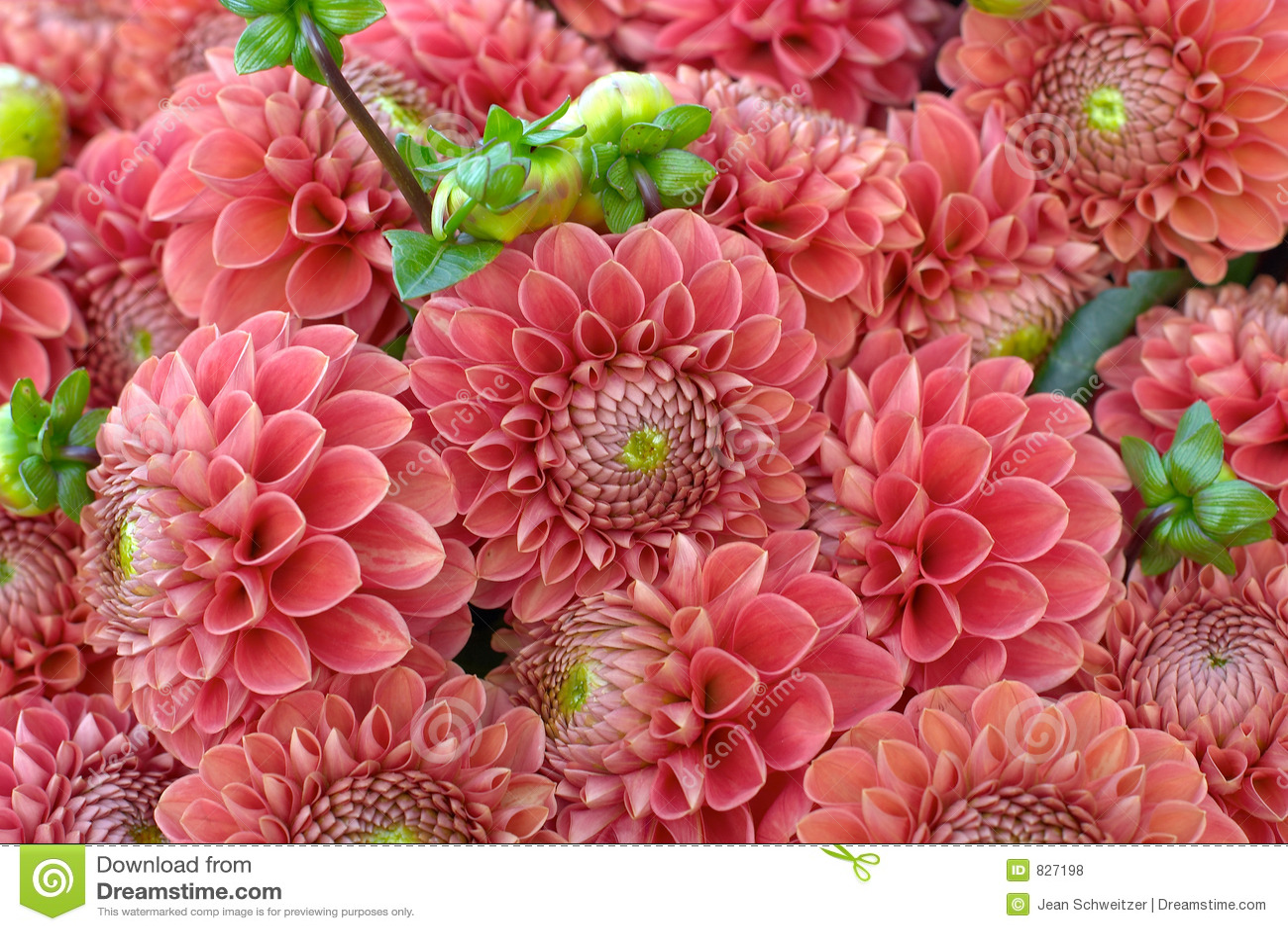 Dahlia flower closeup