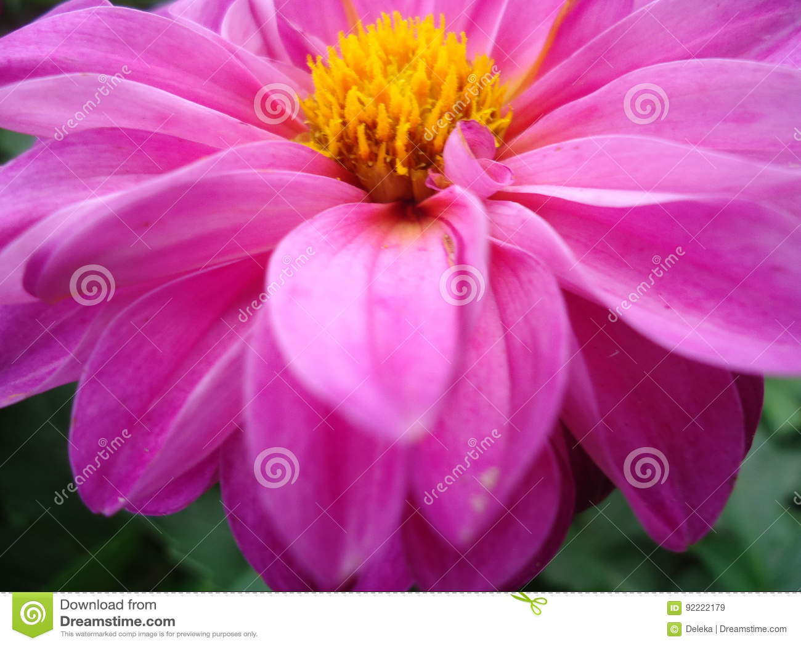 Dahlia flower stock image image of flowers dahlia 92222179 flowers dahlia aster family are one of the most beautiful and flowering garden flowers izmirmasajfo