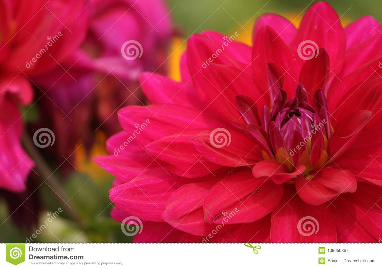 Dahlia flower in a garden stock image image of dark 109650367 download dahlia flower in a garden stock image image of dark 109650367 izmirmasajfo