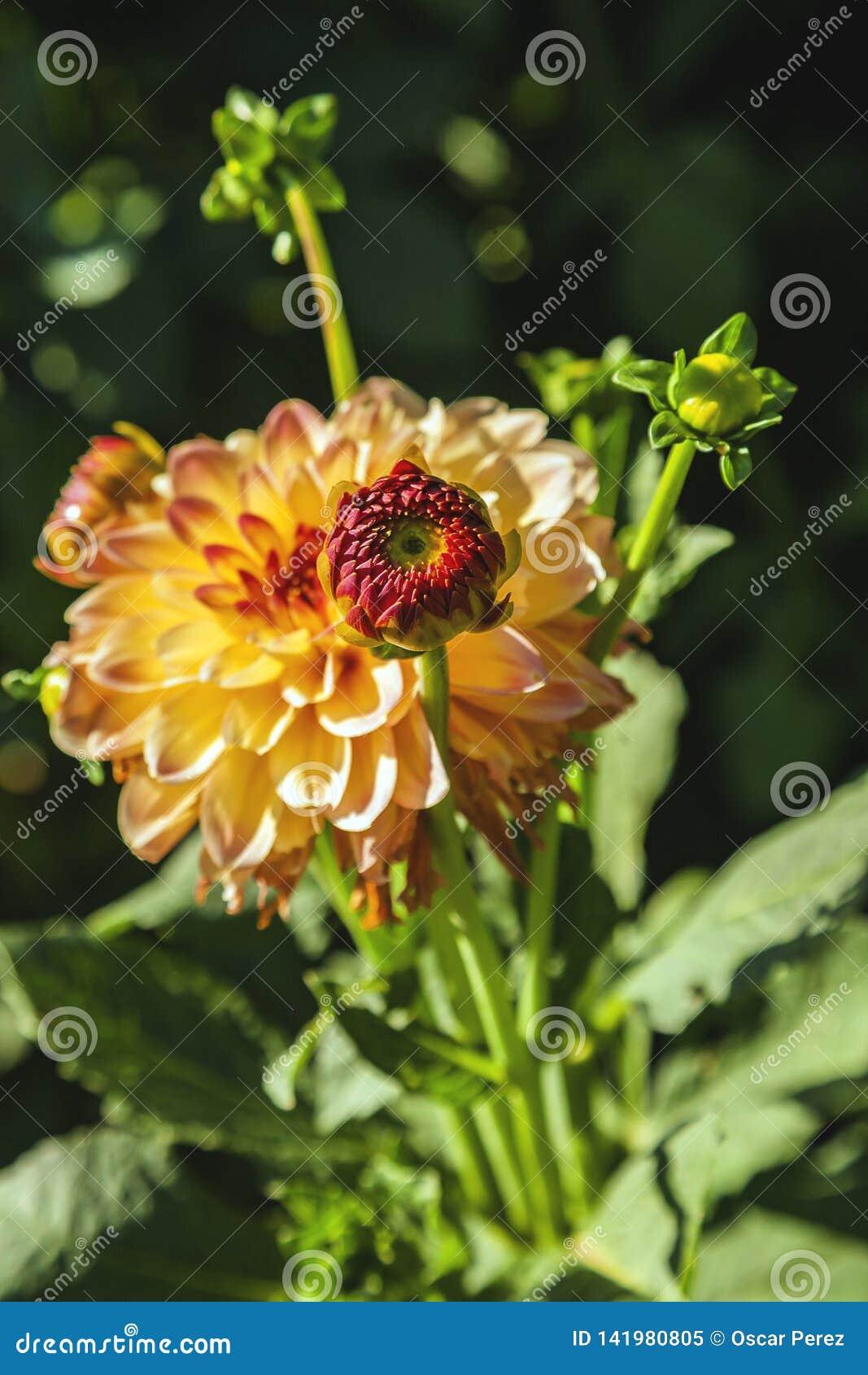 Dahlia flower grown in wild field