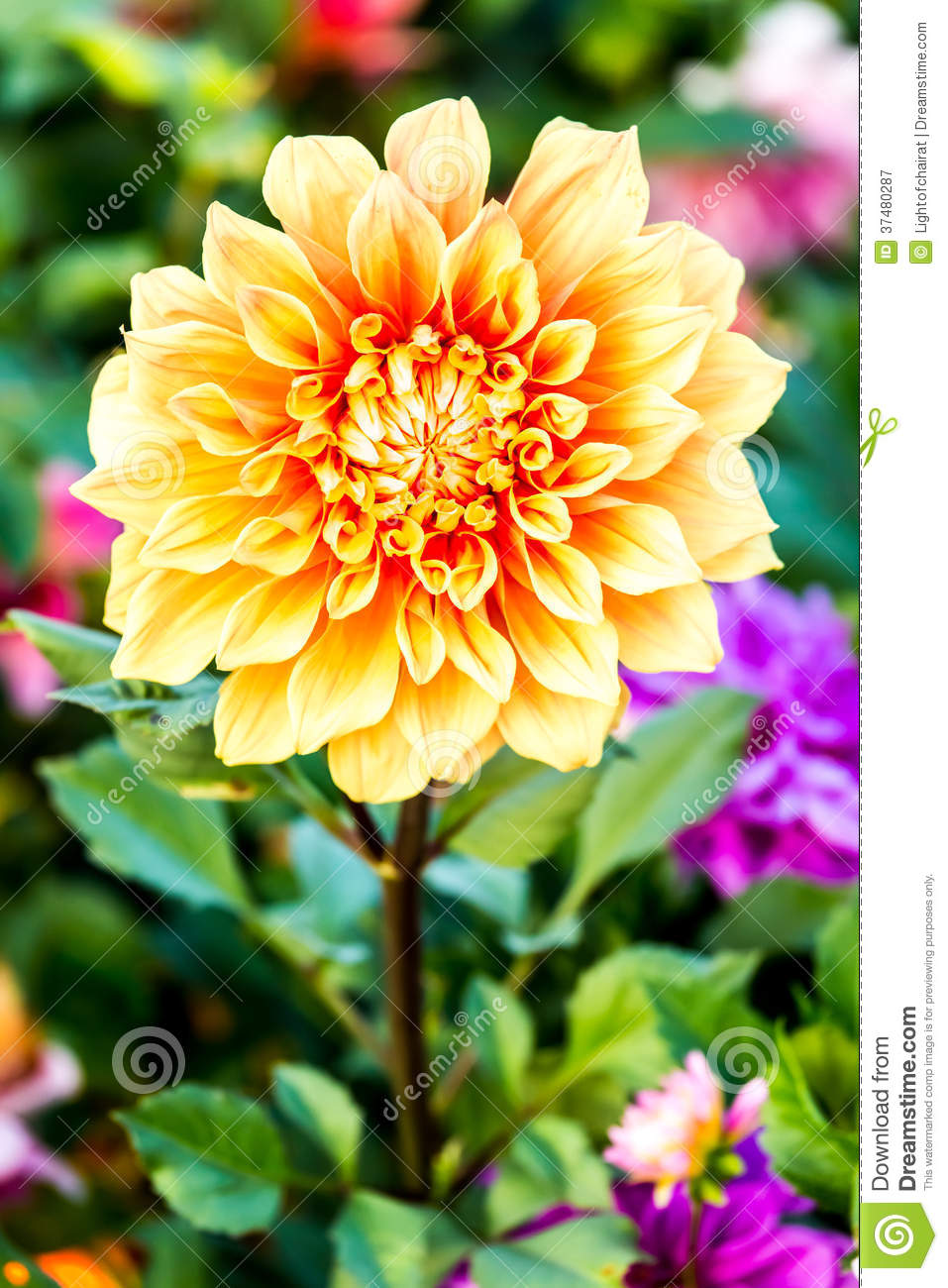 Dahlia Flower In The Royal Flora , Chiangmai Province Thailand Royalty ...