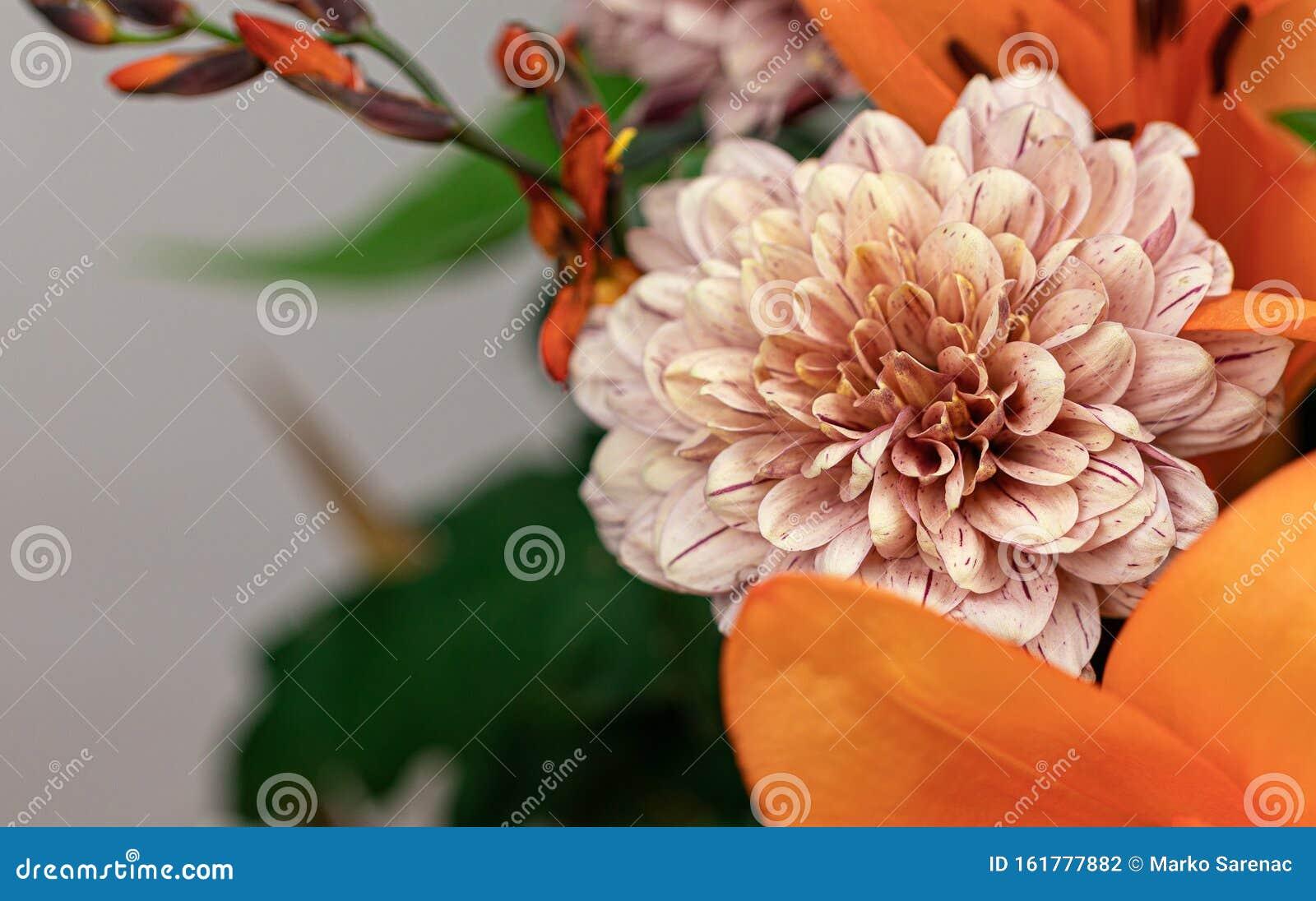 Dahlia Flower Single Flower Daisy Family Flower Head Stock Photo Image Of Beauty Arrangement 161777882