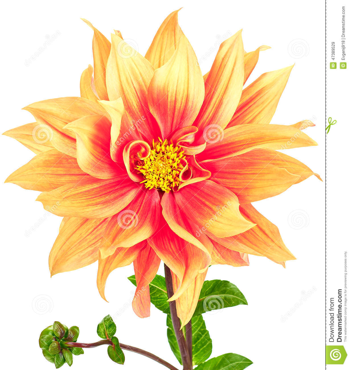 Dahlia pink yellow colored flower and green stem stock image dahlia pink yellow colored flower and green stem mightylinksfo