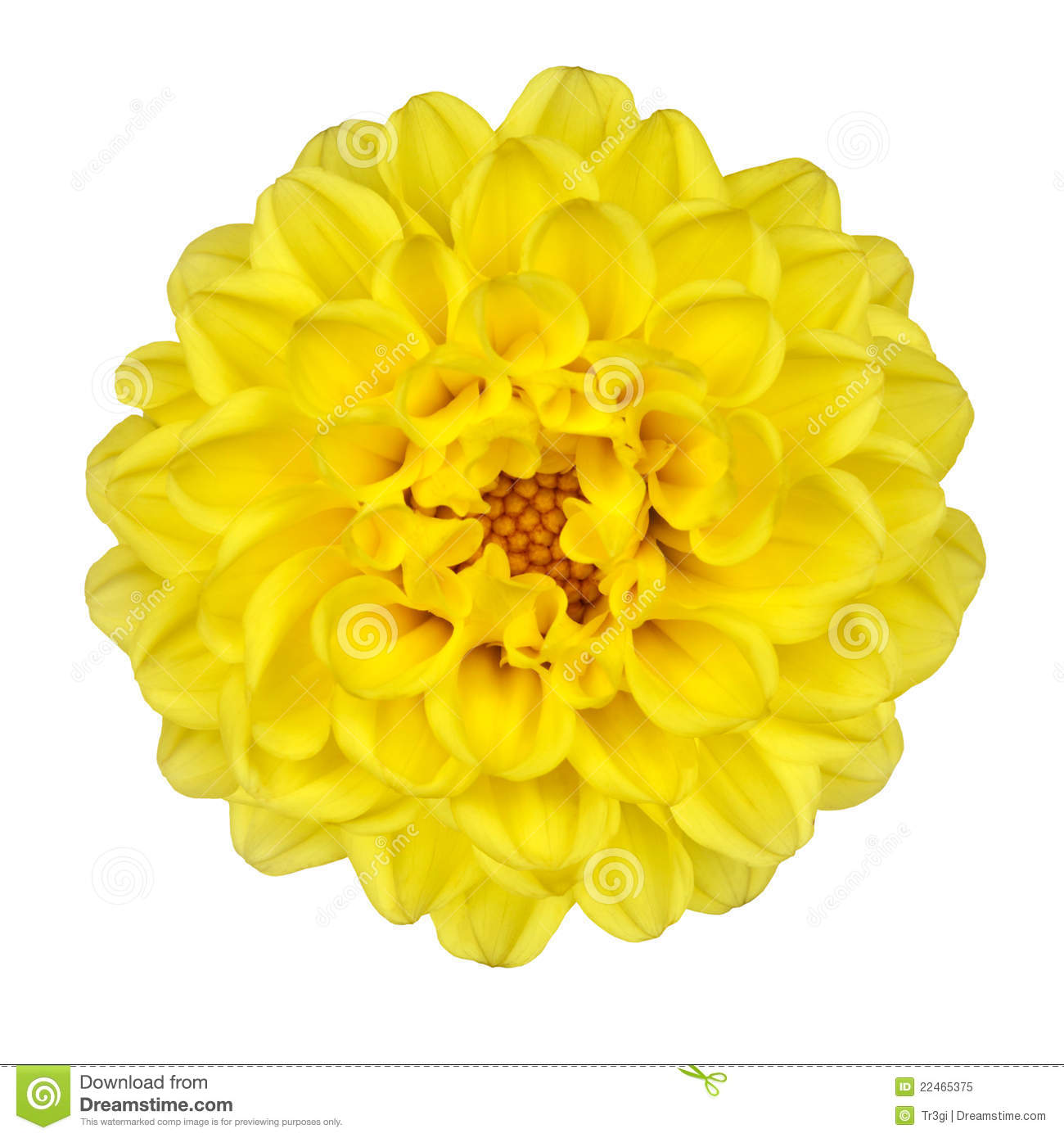 Dahlia Flower Yellow Petals Isolated On White Stock Image Image Of