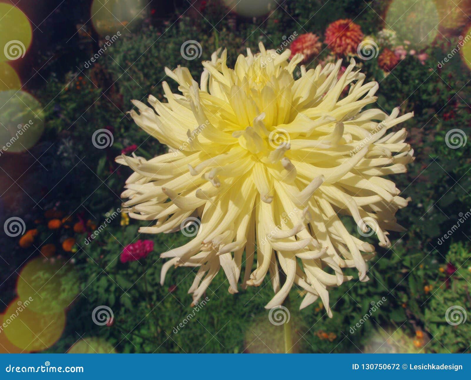Dahlia Flower Yellow Star Tuberous Rooted Perennial Dahlia Stock