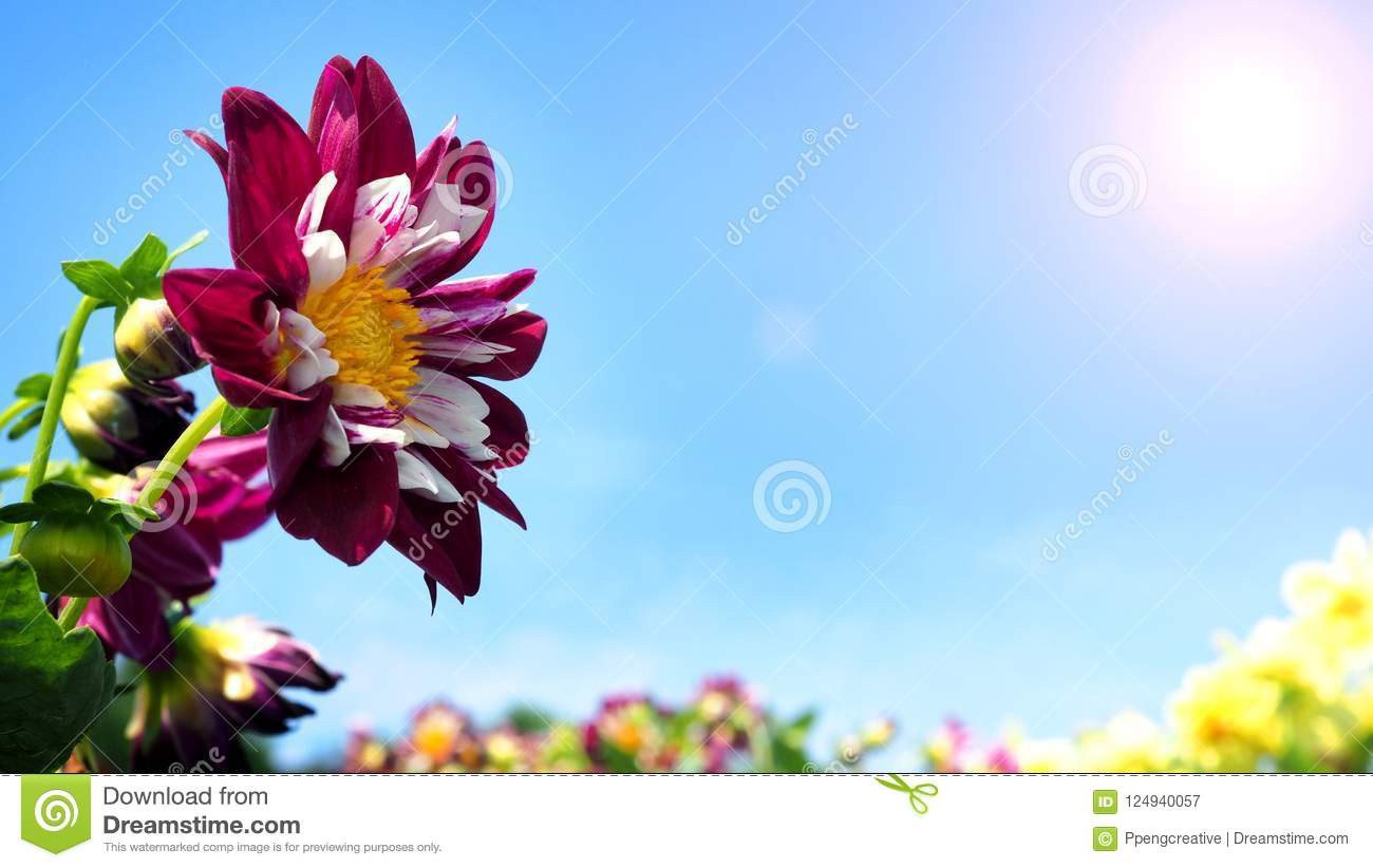 Dahlia flowers in close up or macro images stock image image of download dahlia flowers in close up or macro images stock image image of bright izmirmasajfo