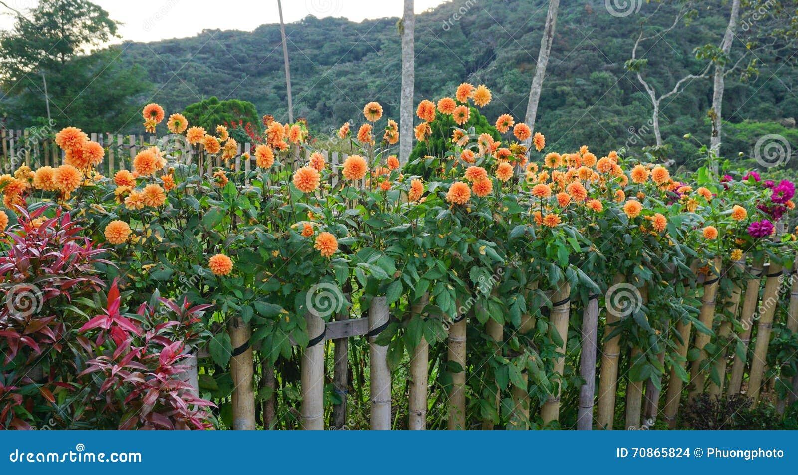 Dahlia Flowers At The Garden Stock Photo Image Of Dahlia Hill 70865824