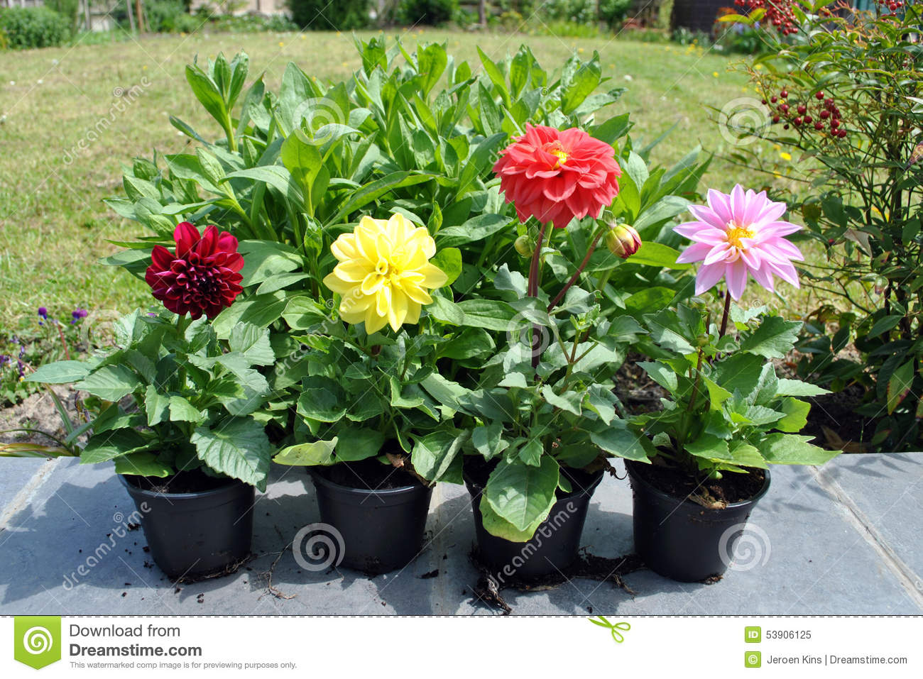 Dahlia Flowers In The Garden Stock Image Image Of Lawn Dahlia 53906125