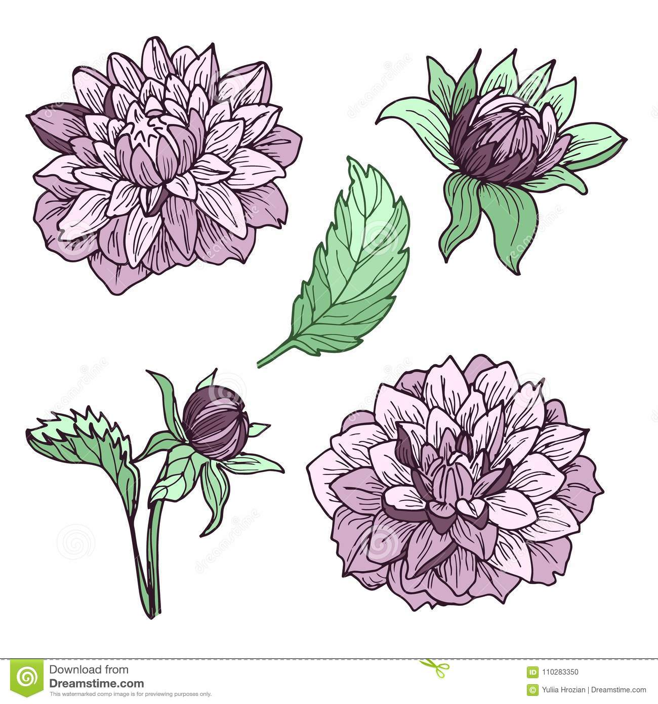 Dahlia Flowers Set Of Drawings Ideal For Using In Wedding