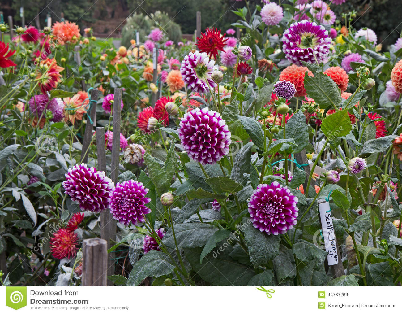 Dahlia Garden Stock Photo Image 44787264