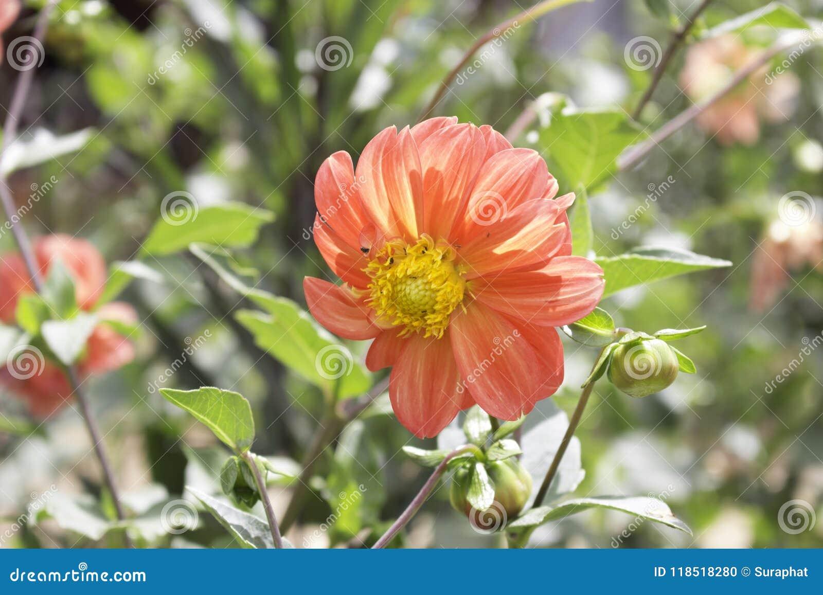 Dahlia is a genus of bushy tuberous herbaceous perennial plants dahlia is a genus of bushy tuberous herbaceous perennial plants native to mexico mightylinksfo