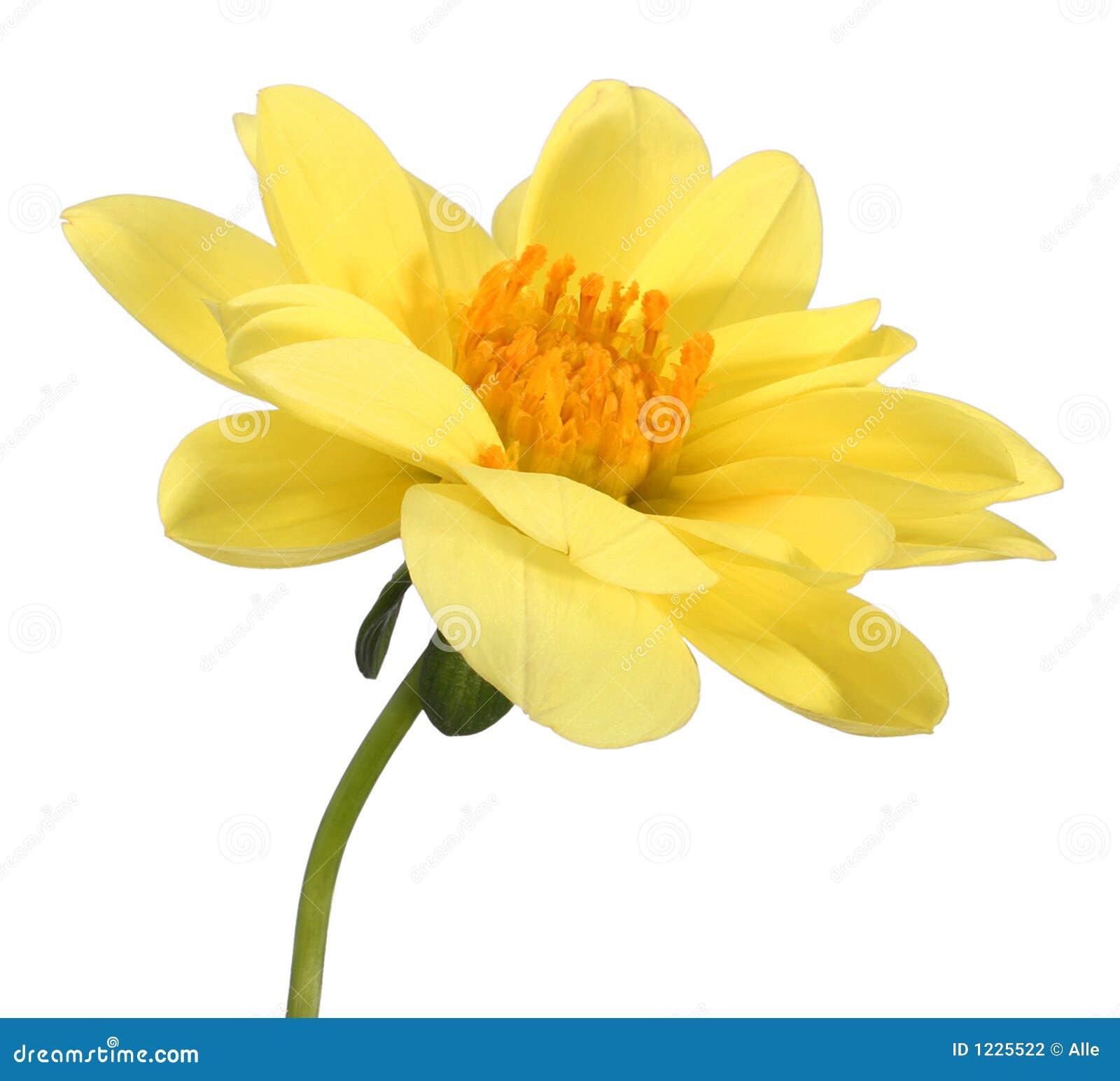 dahlia jaune photographie stock - image: 1225522