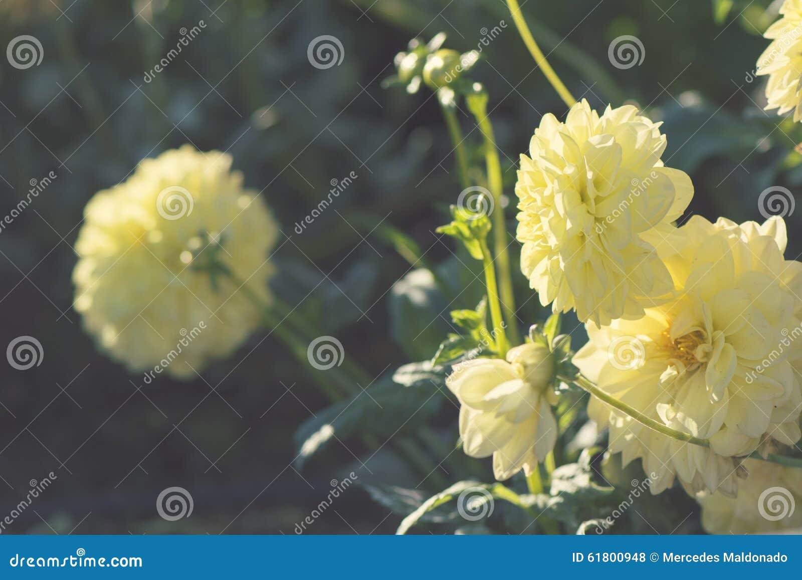 dahlia jaune de fleur avec le fond vert de feuille photo stock
