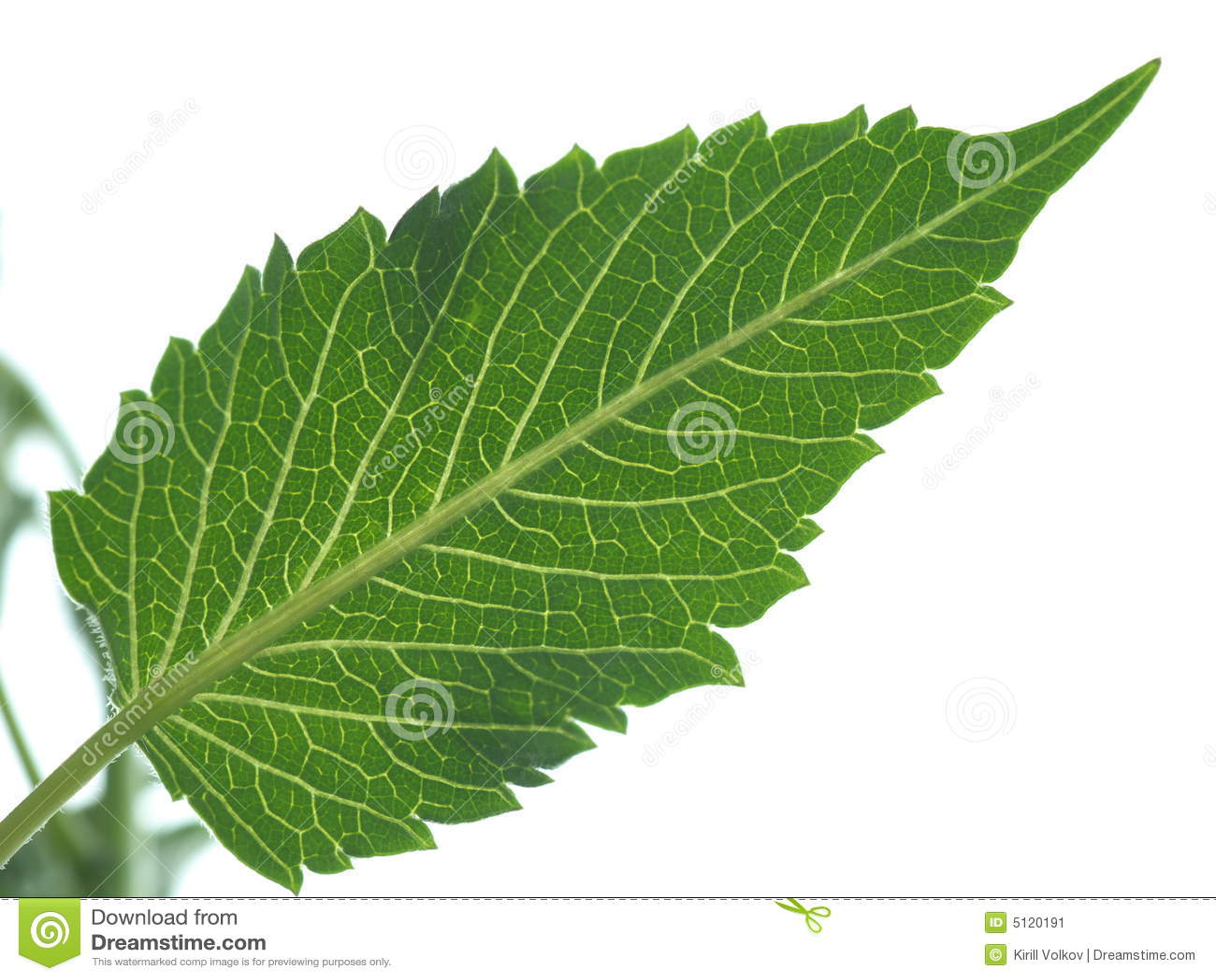 Dahlia Leaf Macro Vein...