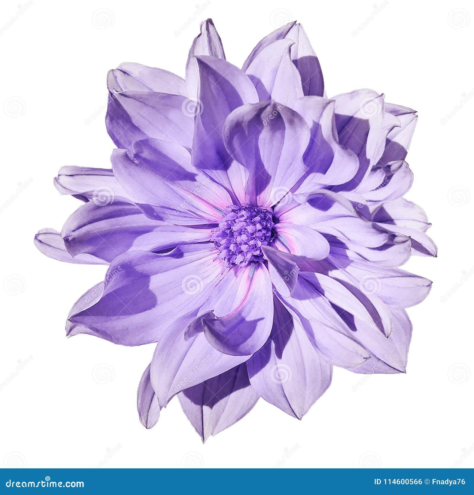 Dahlia light purple flower on an isolated white background with download dahlia light purple flower on an isolated white background with clipping path closeup mightylinksfo