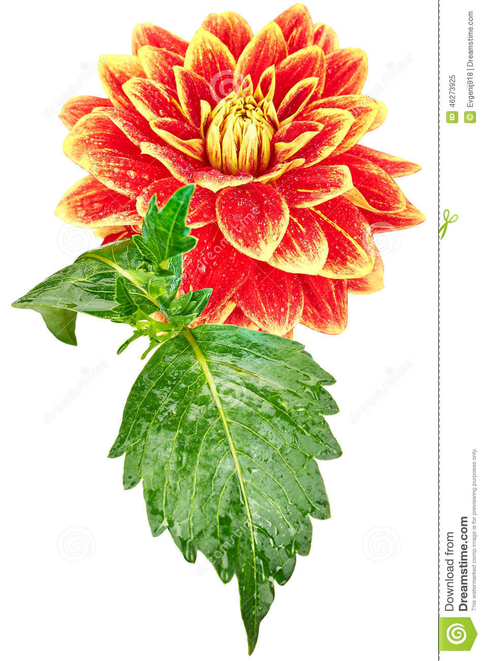 Dahlia orange yellow colored flower with leaves stock image dahlia orange yellow colored flower with leaves izmirmasajfo