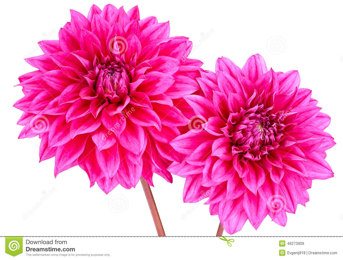 Dahlia Pink Purple Colored Flower With Green Stem Stock Image
