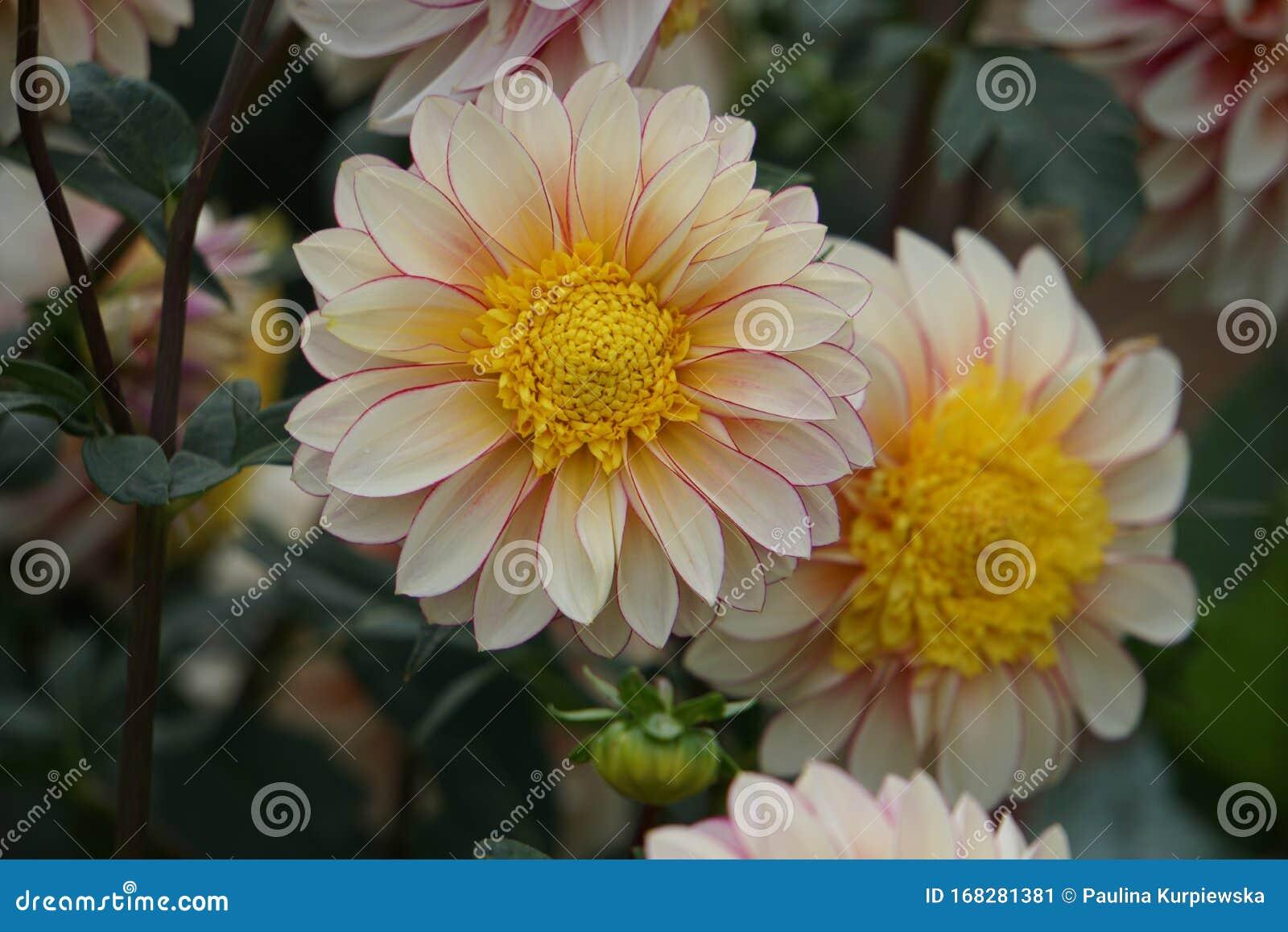 Dahlia Polka Anemone Like Flowers Peach Coral Blooms Stock Image