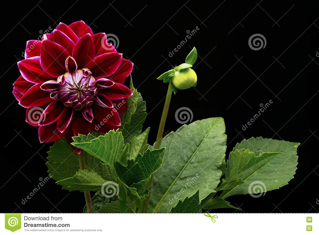 Dahlia Red Color (flowers On A Black Background) Stock Photo - Image ...
