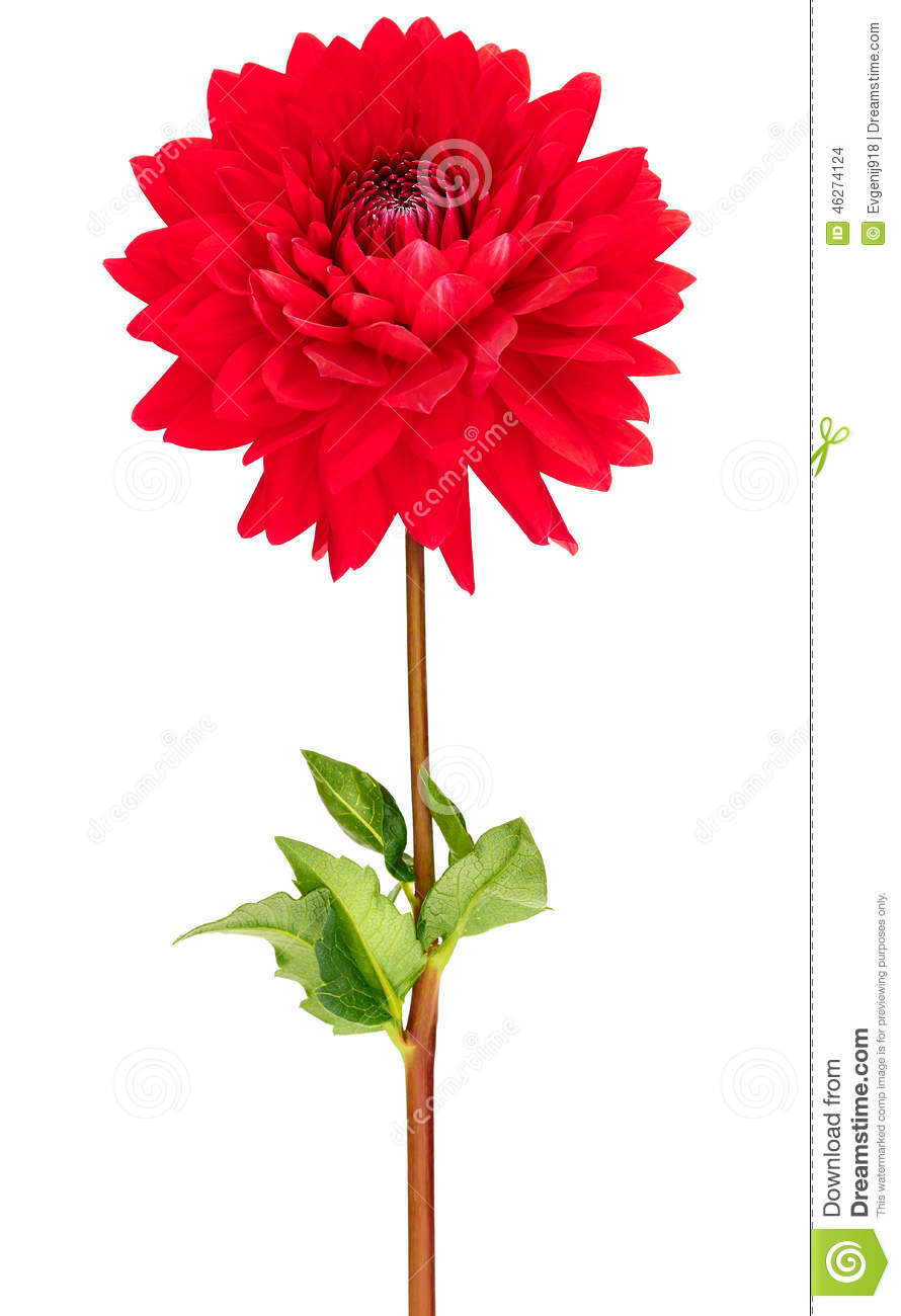 Dahlia Red Colored Flower With Green Stem And Leaf Stock Photo ...