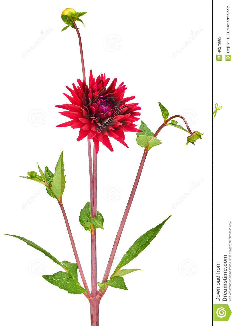Dahlia red colored flower with green stem and leaf stock image dahlia red colored flower with green stem and leaf izmirmasajfo