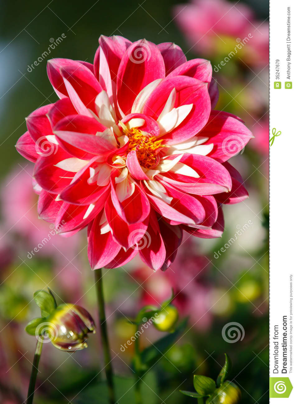 Dahlia stock image image of autumn nobody blooming 35247679 dahlia izmirmasajfo