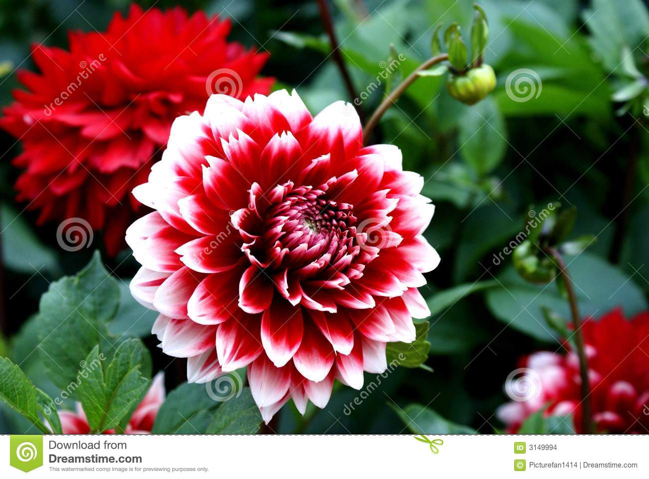 dahlia flower stock photos, images, & pictures - 14,461 images