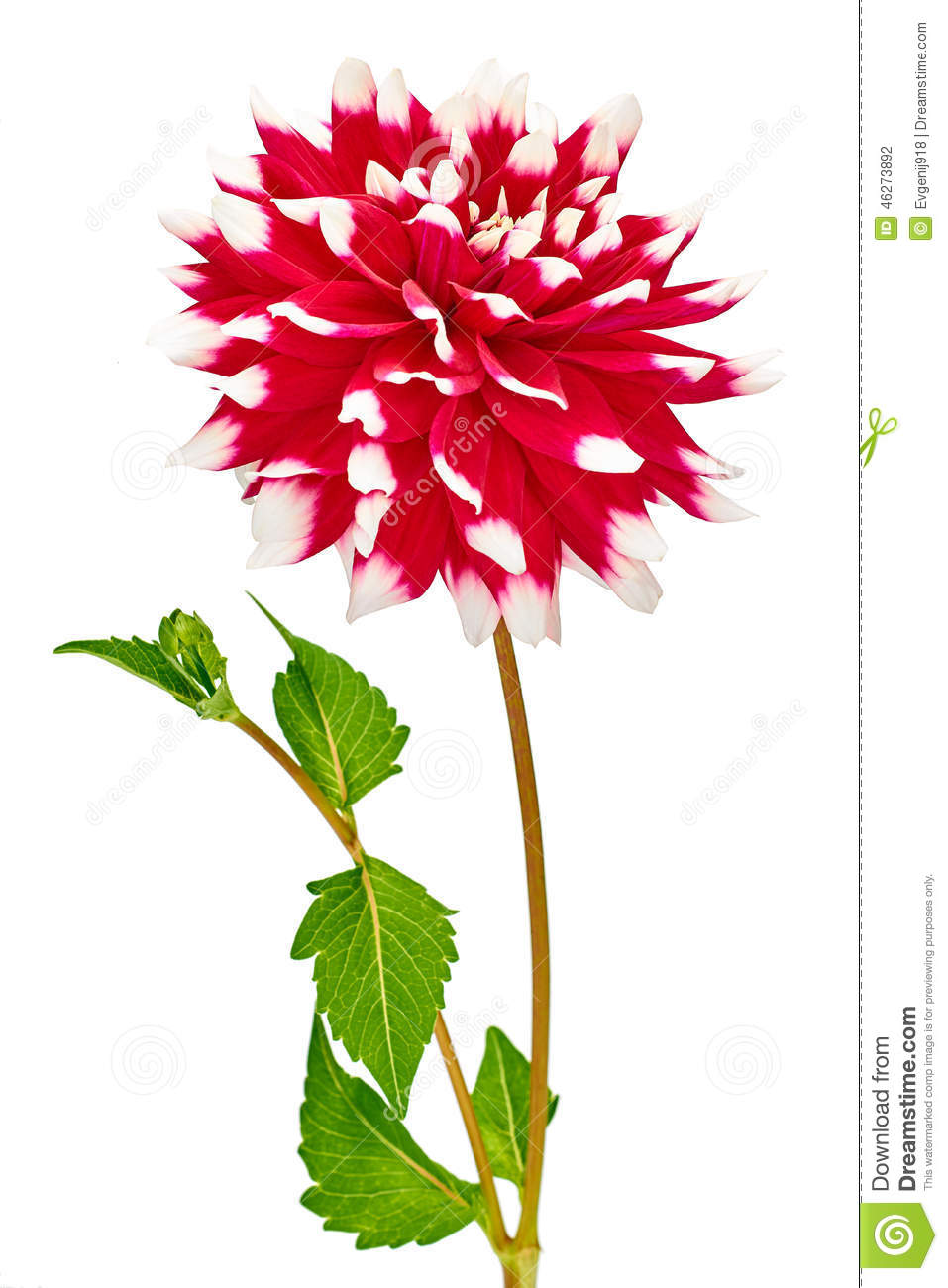 Dahlia Red, White Colored Flower With Green Leaf Stock Photo - Image ...