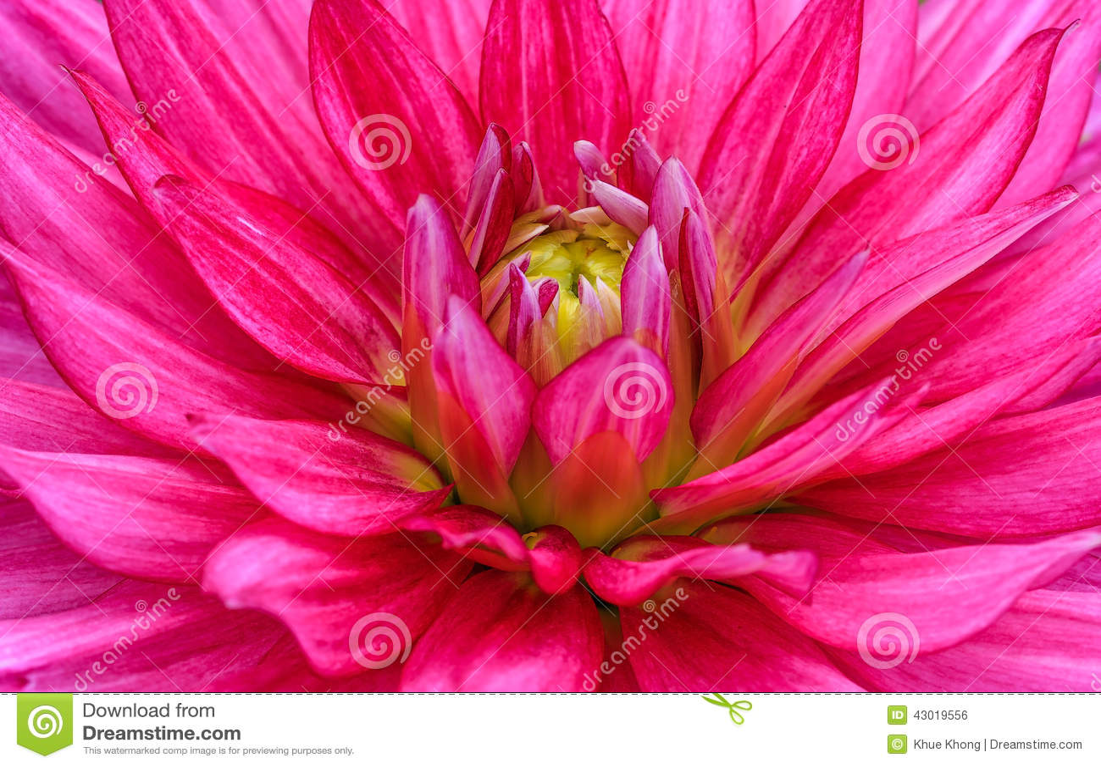 dahlia rouge en gros plan en fleur photo stock - image: 43019556