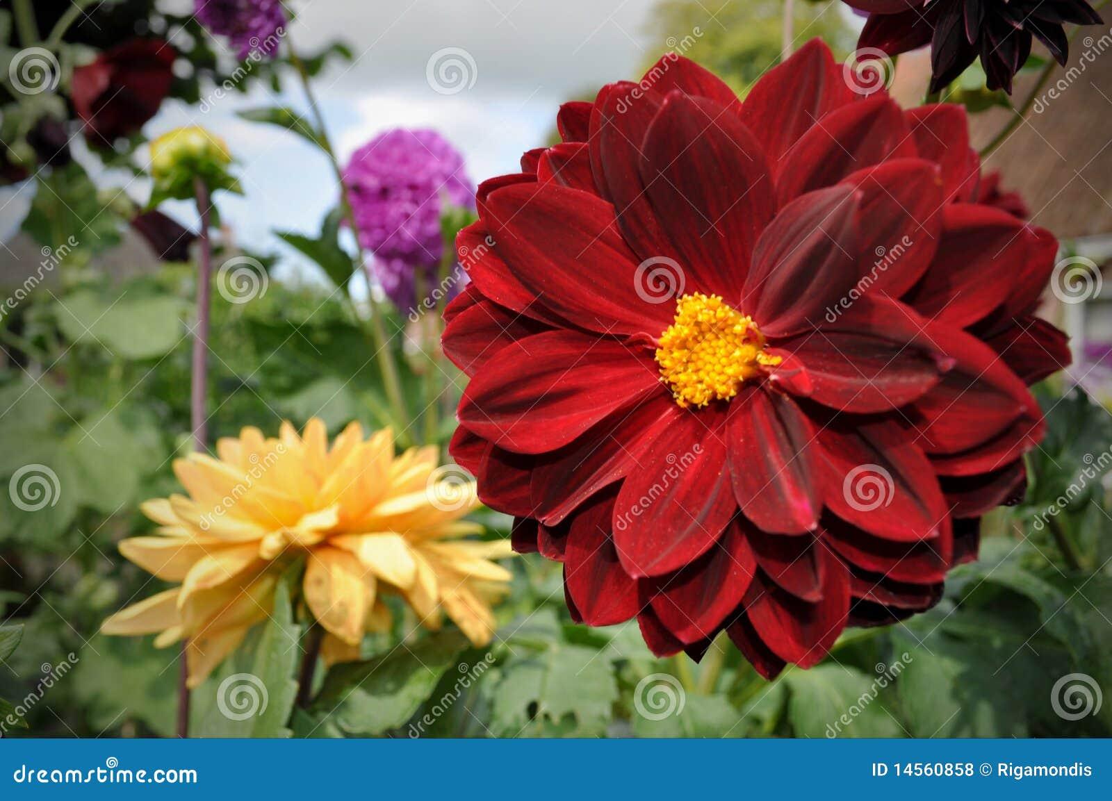 dahlia rouge et jaune de fleur photos libres de droits - image