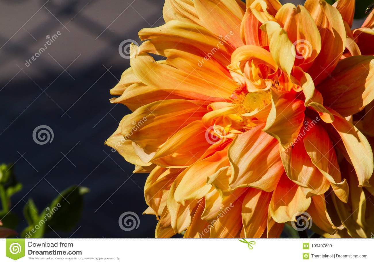 Dahlia Spp Beautiful Flowers Of All Shapes And Colors Are Very Eye