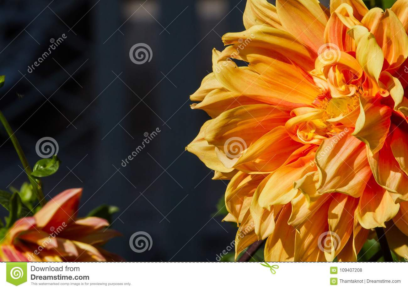Dahlia Spp Originated In Mexico Abroad The Growing Popularity Of Cut