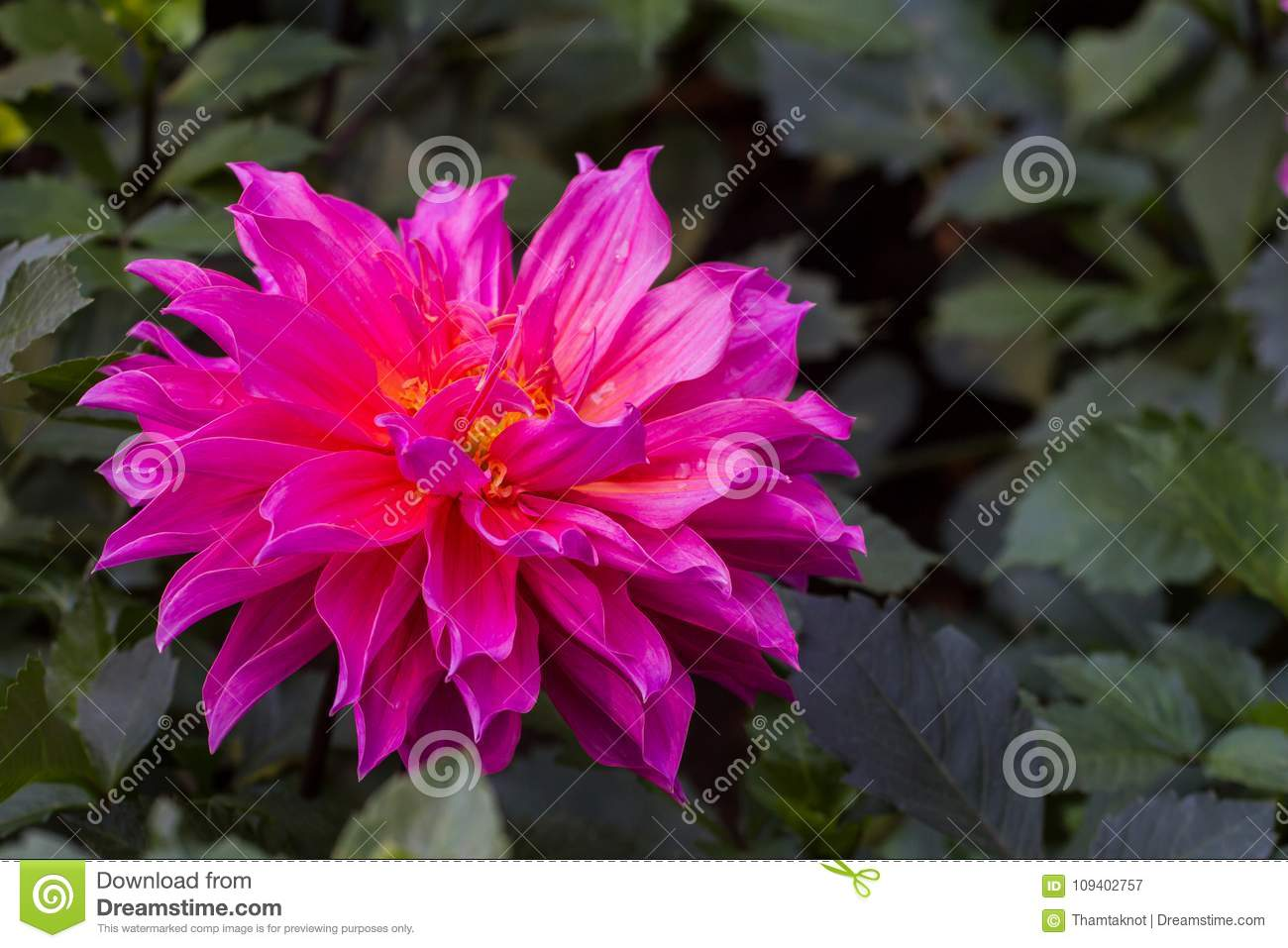 Dahlia Spp Originated In Mexico Overseas Grown As Cut Flowers But
