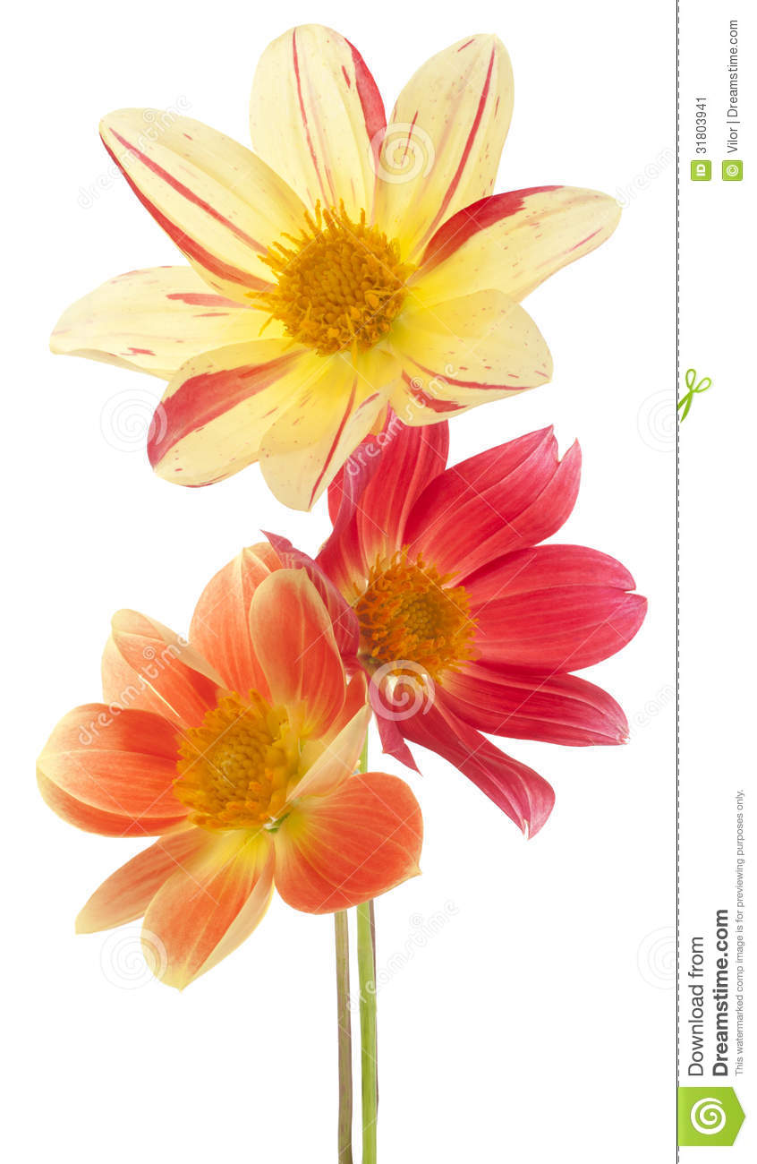 Dahlia stock image image of florescence orange isolated 31803941 mightylinksfo