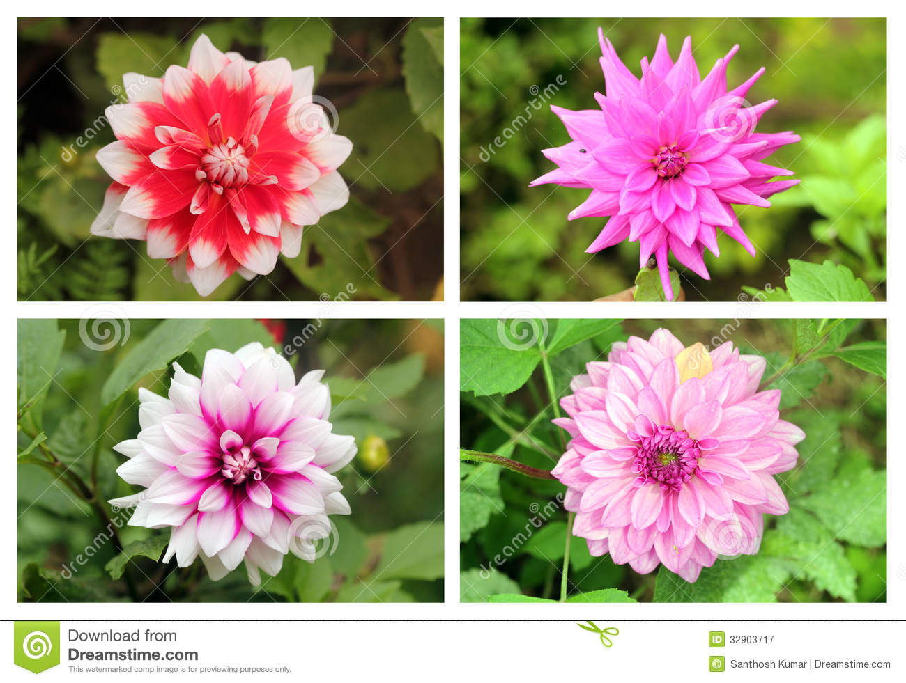 Dahlia or valley flowers collection set in different for What makes flowers different colors