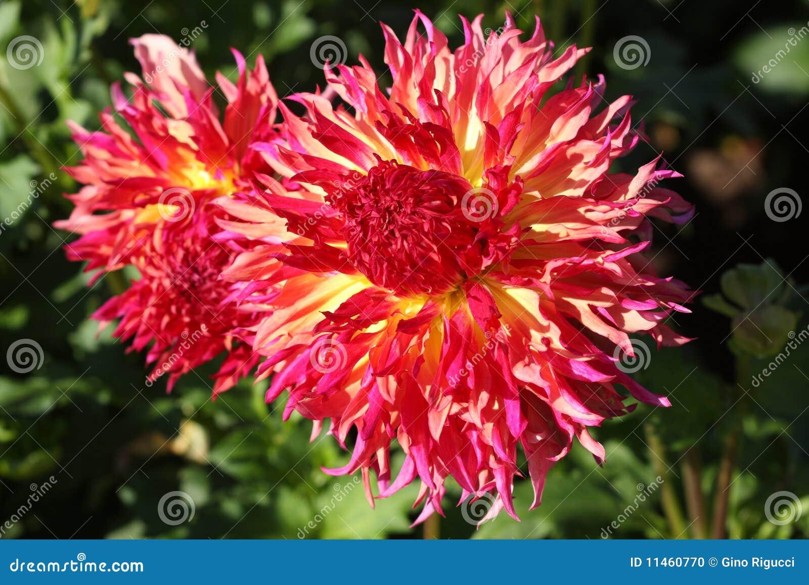 Dahlia Variety Flowers Stock Photo Image Of Flower Radiant