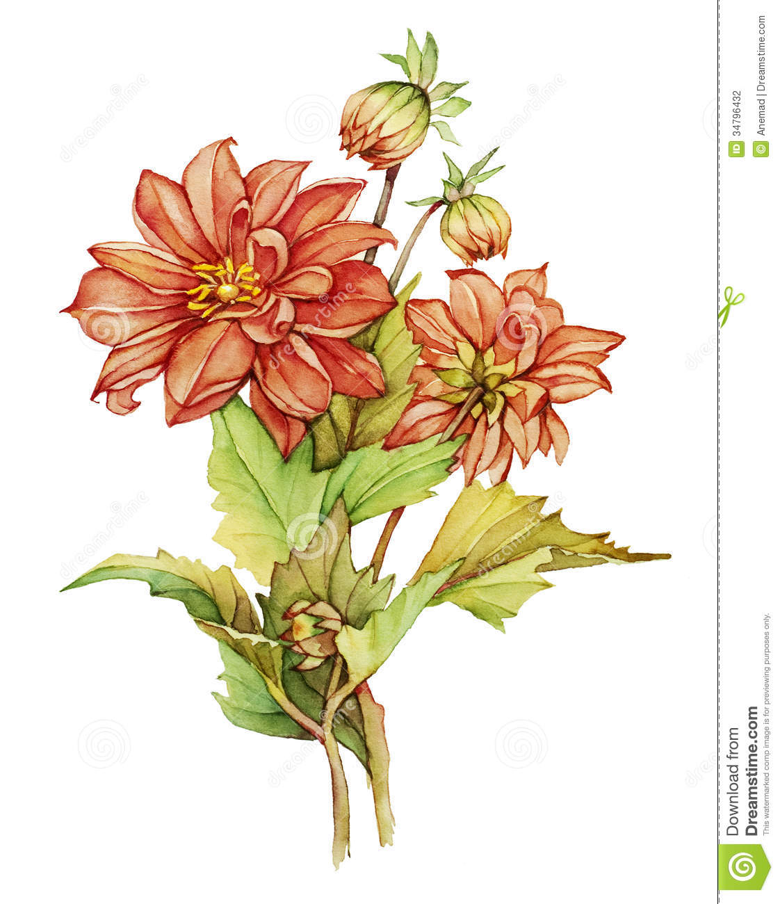 Dahlia stock illustration. Image of detail, flowers ...