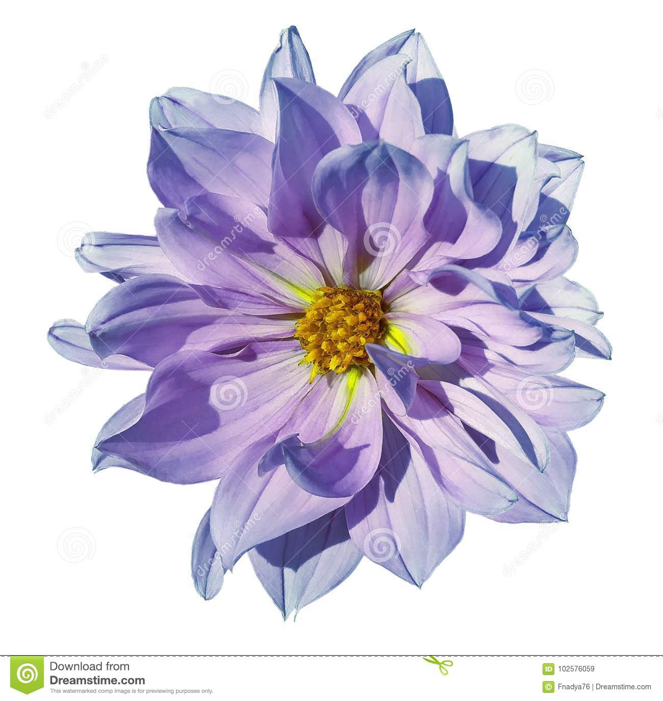 Dahlia White Pink Blue Flower On An Isolated White Background With