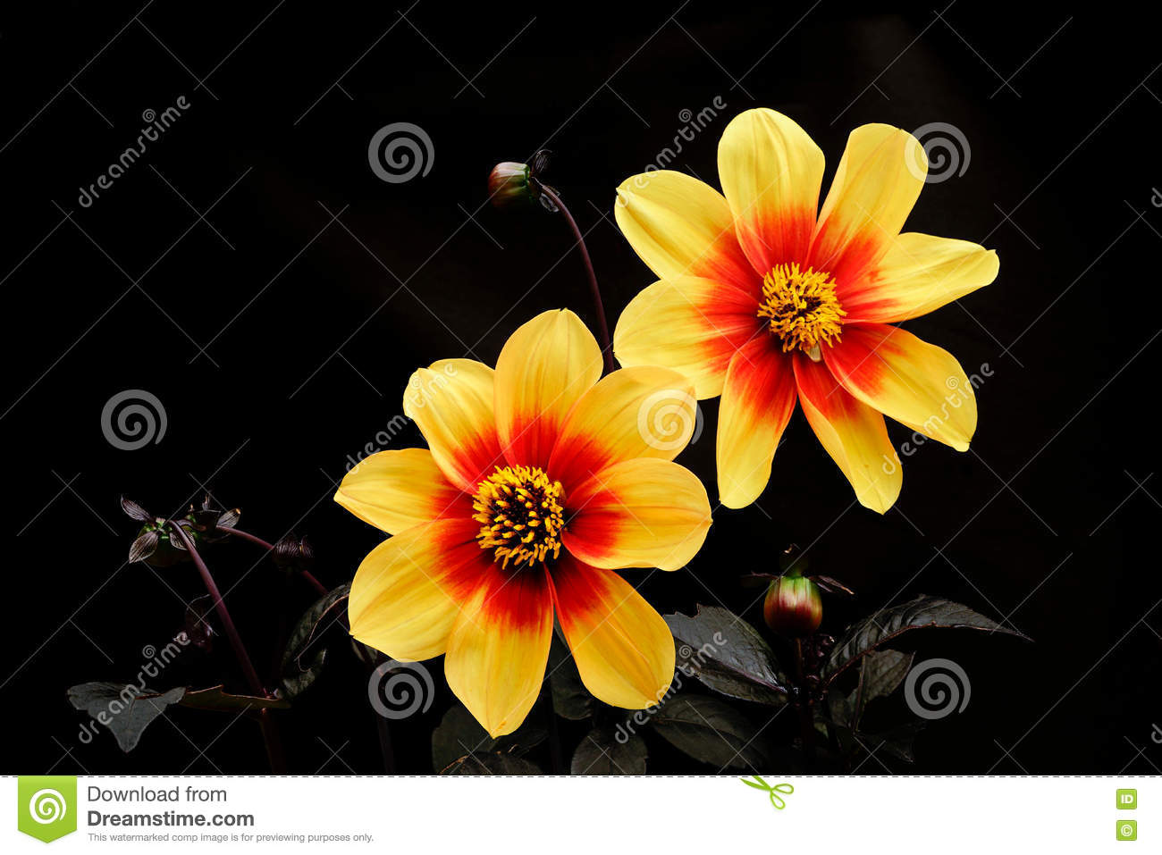 Dahlia Yellow Color Flowers On A Black Background Stock Photo