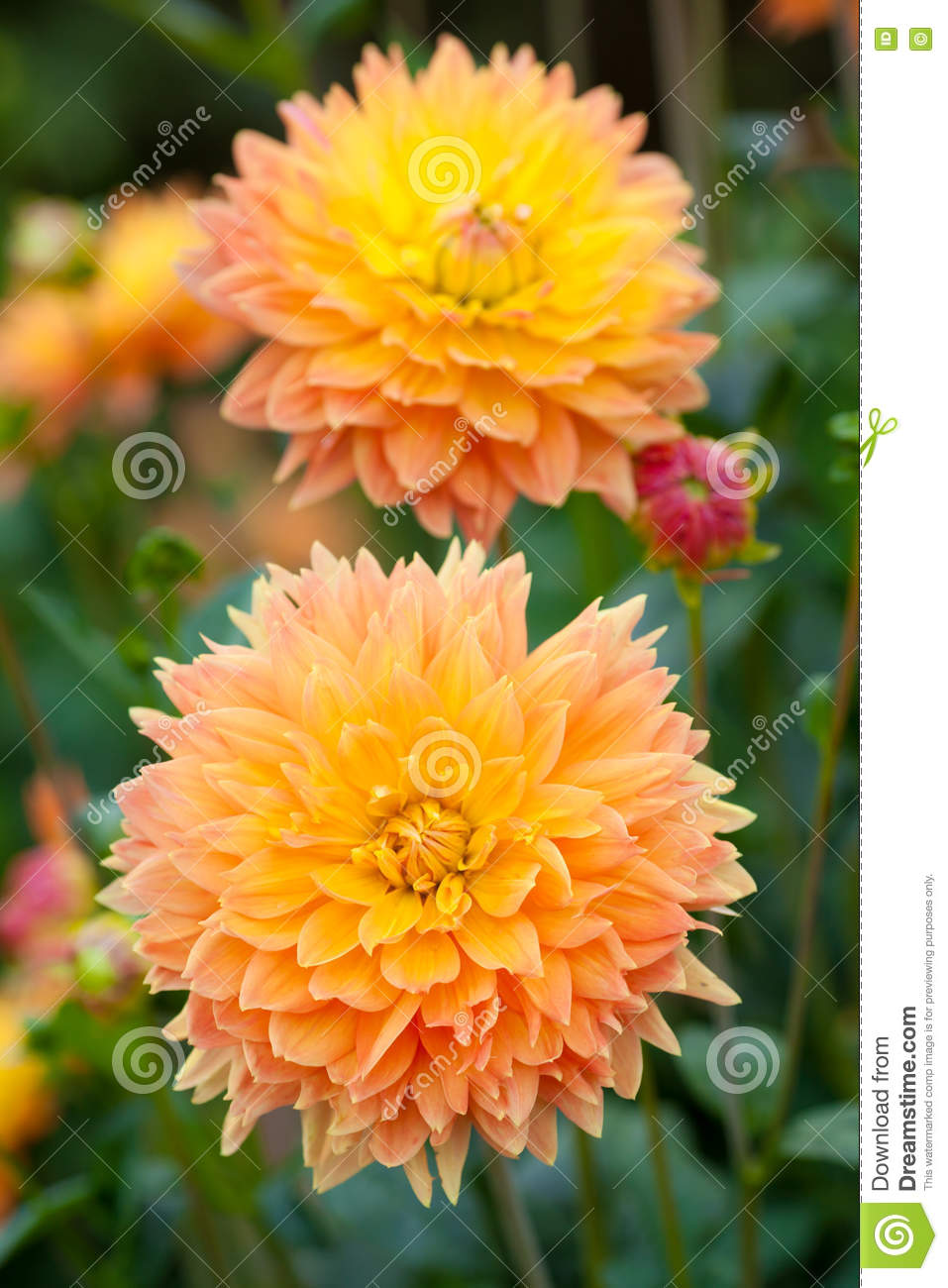 Dahlia Yellow And Orange Flowers In Garden Full Bloom Stock Photo