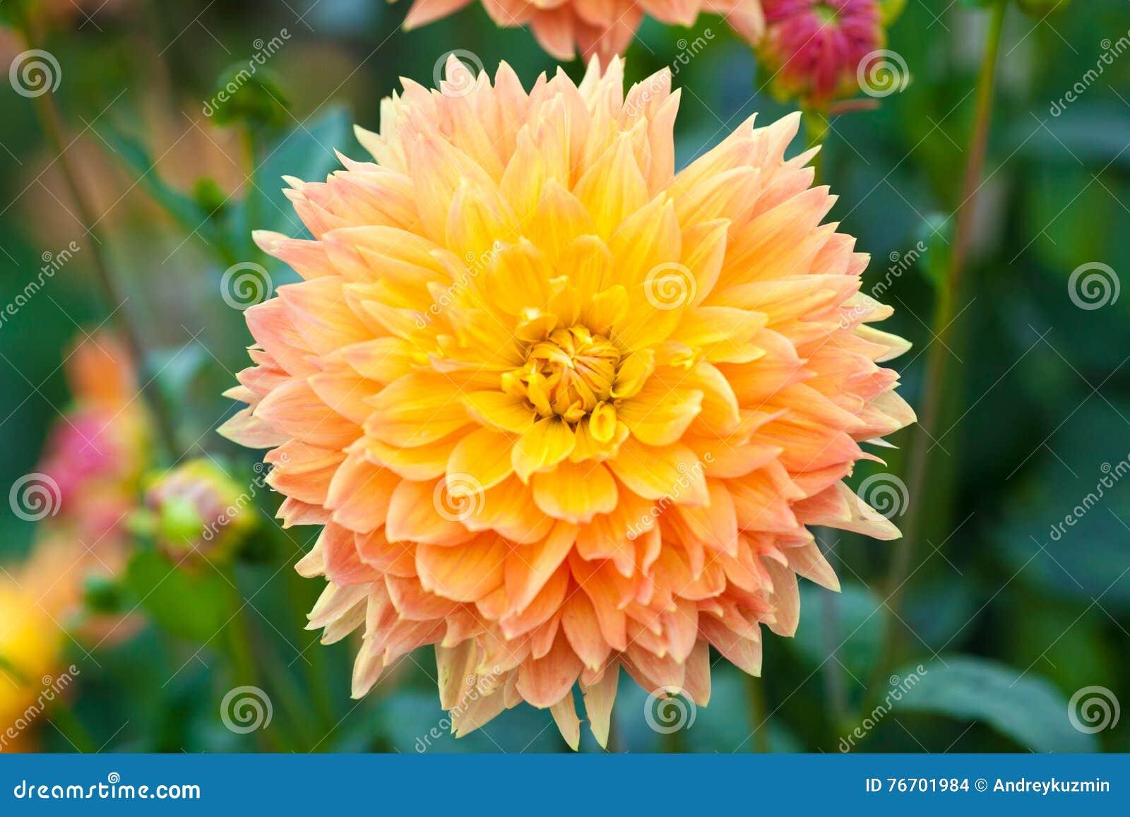Dahliaapelsin och closeup för full blom för gulingblommor