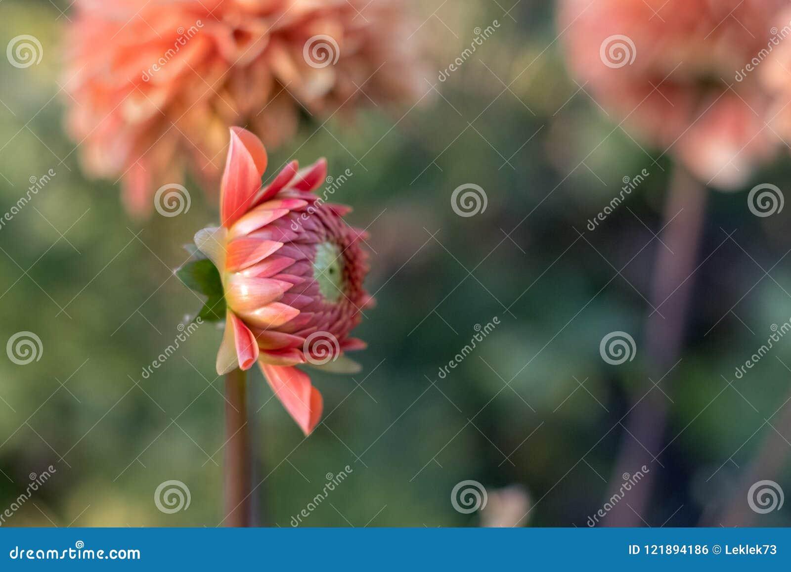 Dahliabloem hoofd aanvang open te stellen, gefotografeerd van de kant in natuurlijk daglicht
