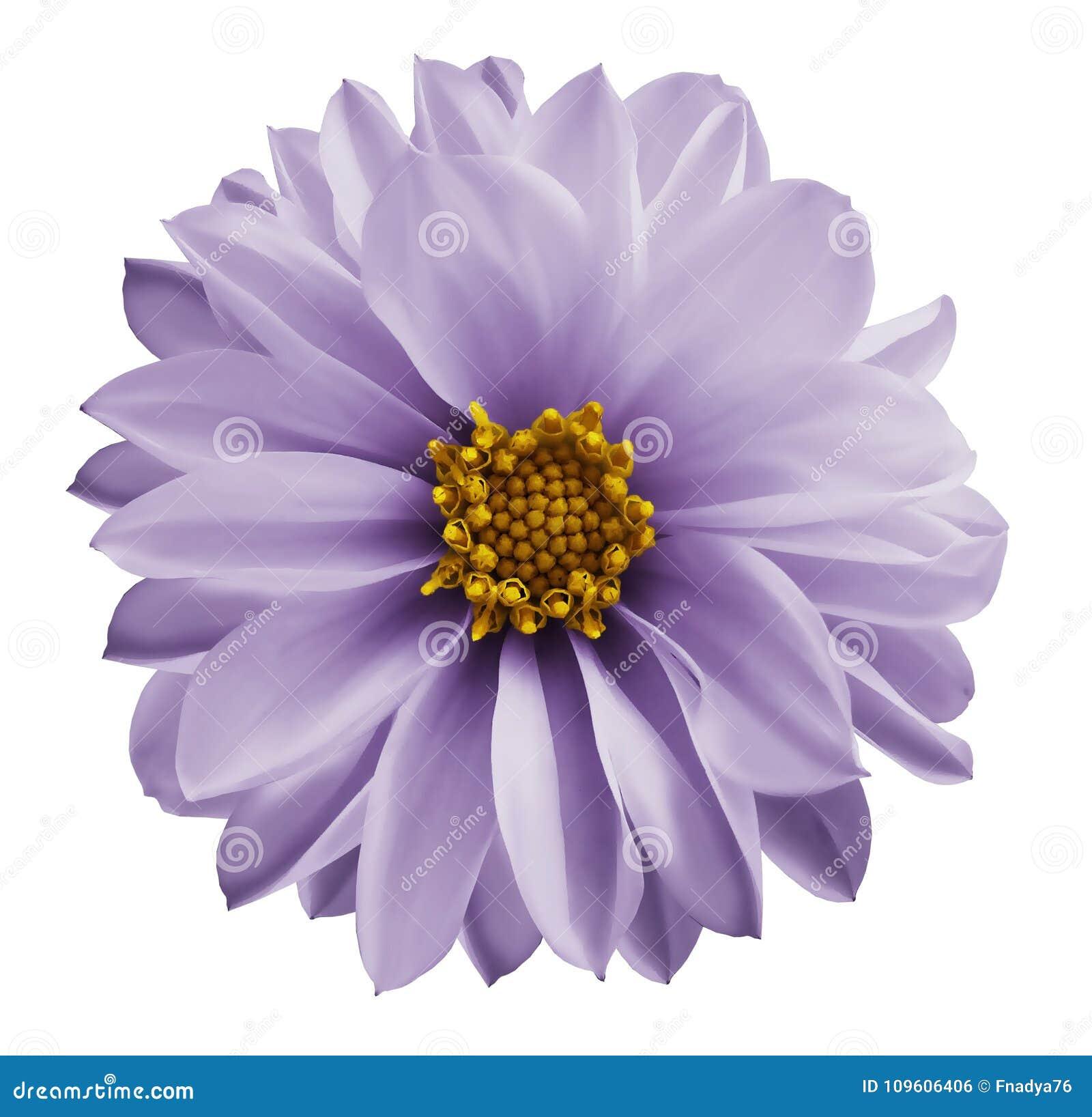 Dahlialjus - den violetta blomman på en vit isolerade bakgrund med den snabba banan Closeup inga skuggor Trädgårds- blomma