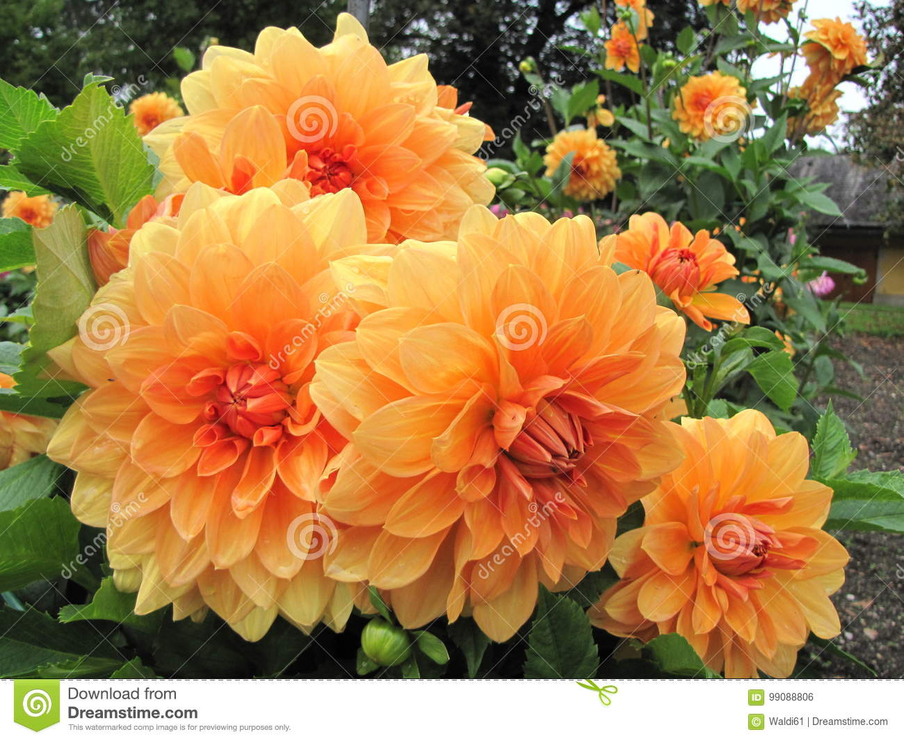 Dahlias magnificent and very beautiful flowers stock photo image download dahlias magnificent and very beautiful flowers stock photo image of dahl have izmirmasajfo