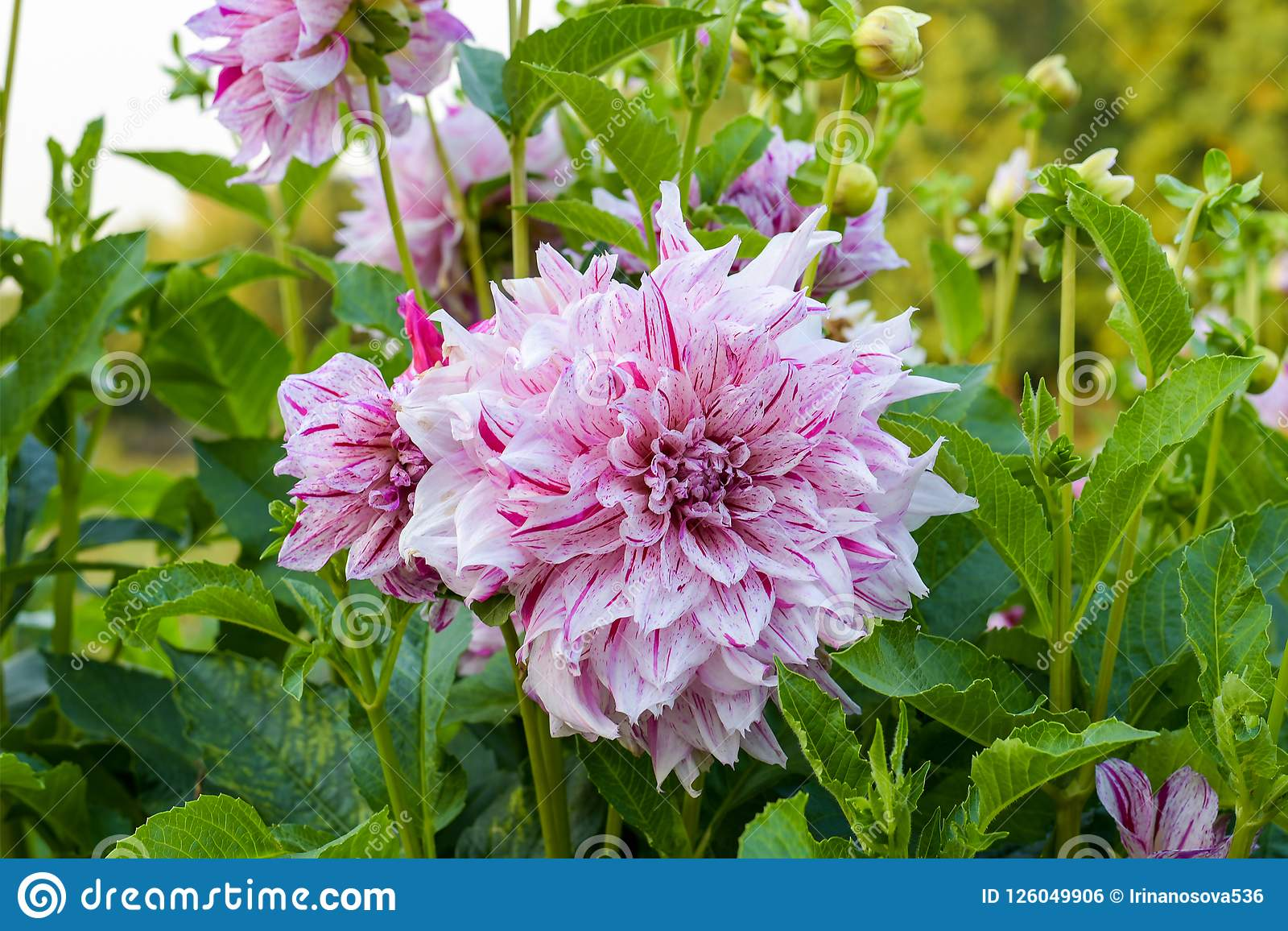 Bicolor White Purple Dahlia In The Garden Stock Photo Image Of