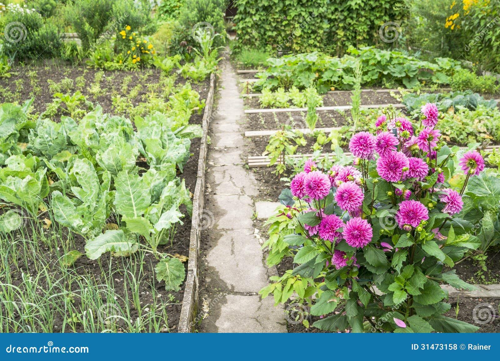 Dahlias in a vegetable garden royalty free stock photos for Garden vegetable patch