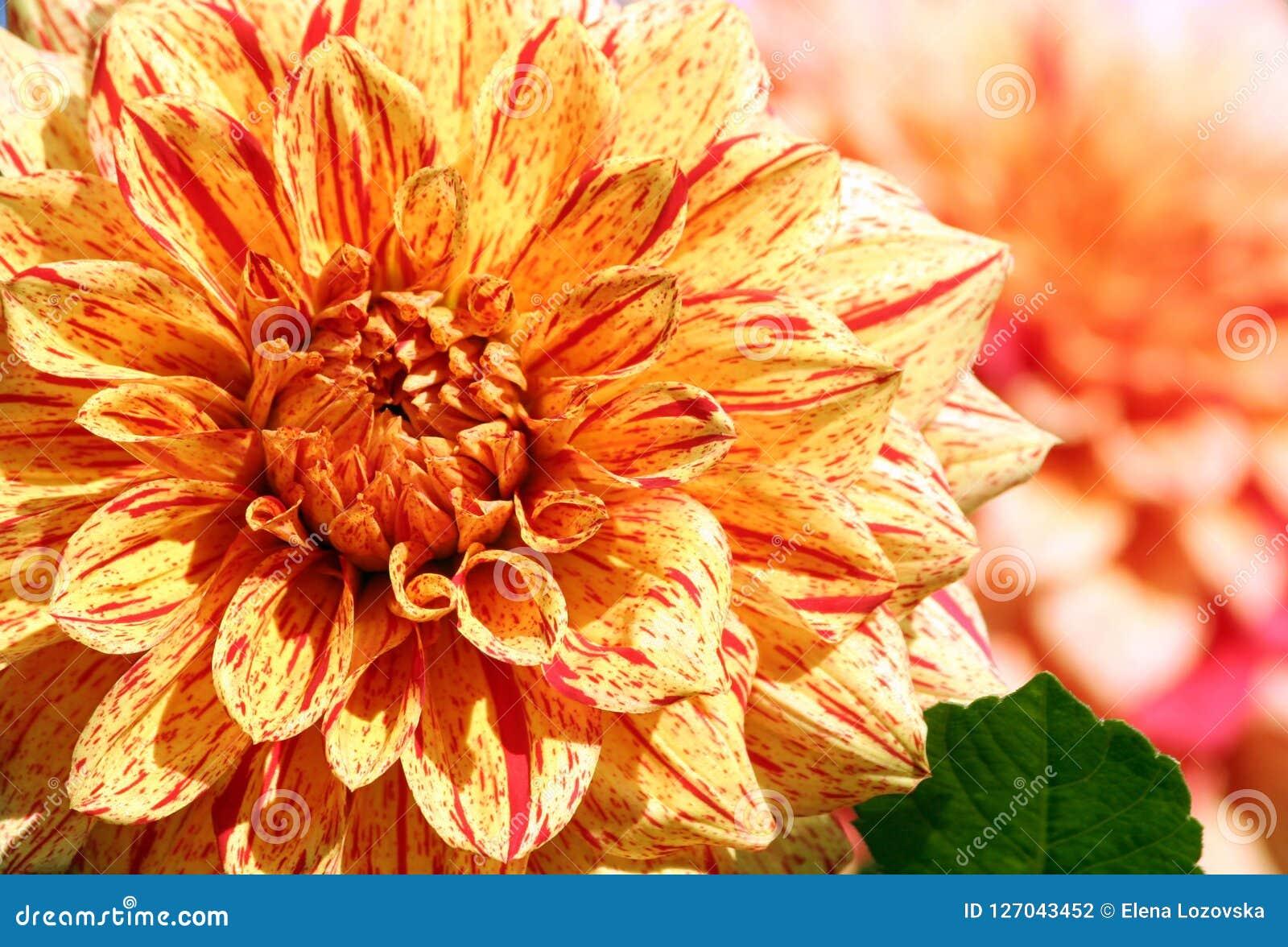 Dahlienelija-Maurer Asteraceaevielzahl der Chrysantheme,