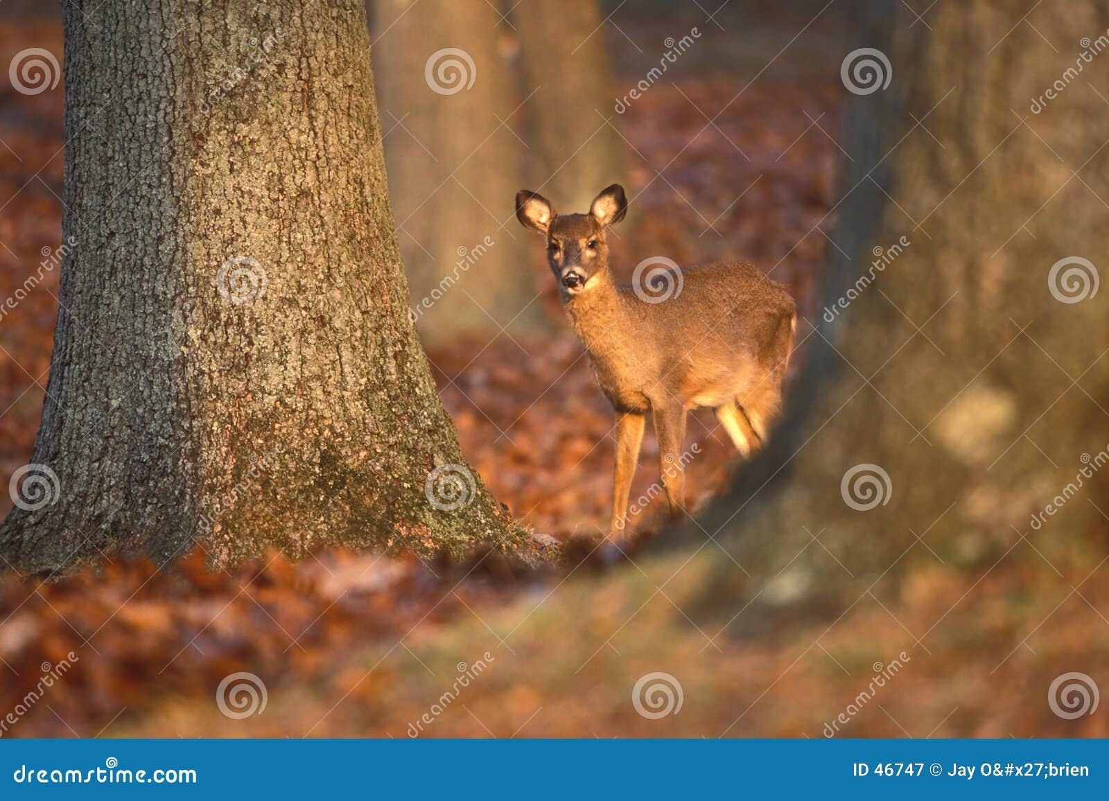 Daine derrière des arbres