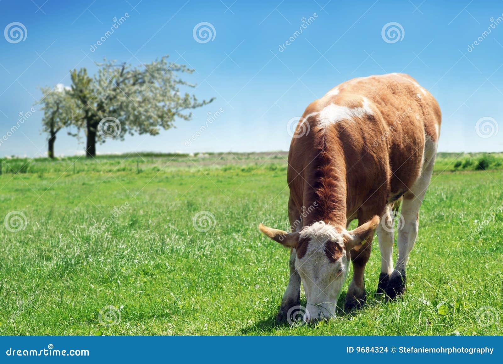 Big Cow Udders Milk  Hot Girl Hd Wallpaper-8604