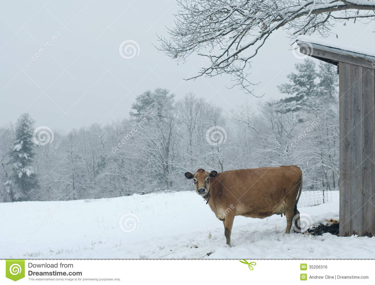 Download Dairy Cow in the Snow stock photo. Image of agriculture - 35206316